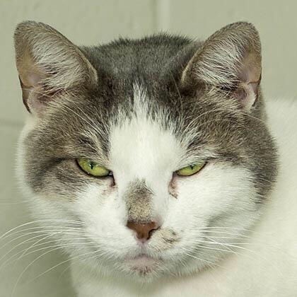 Prudence, a grey and white cat available for adoption from Lollypop Farm
