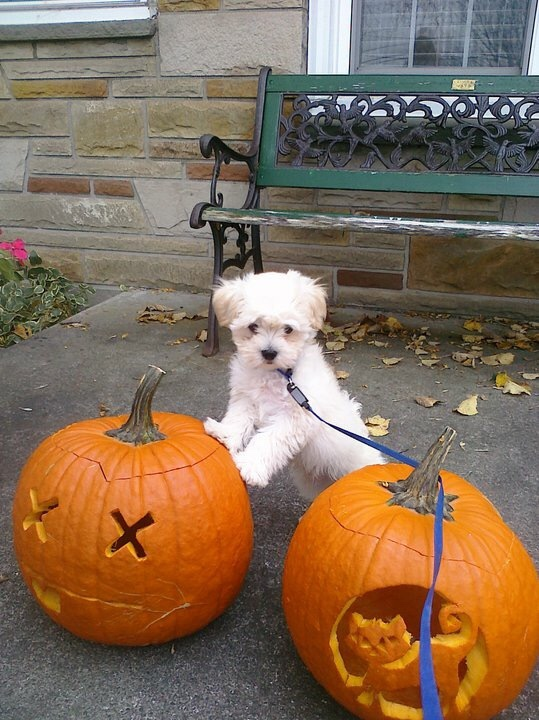 Puppy on a pumpkin