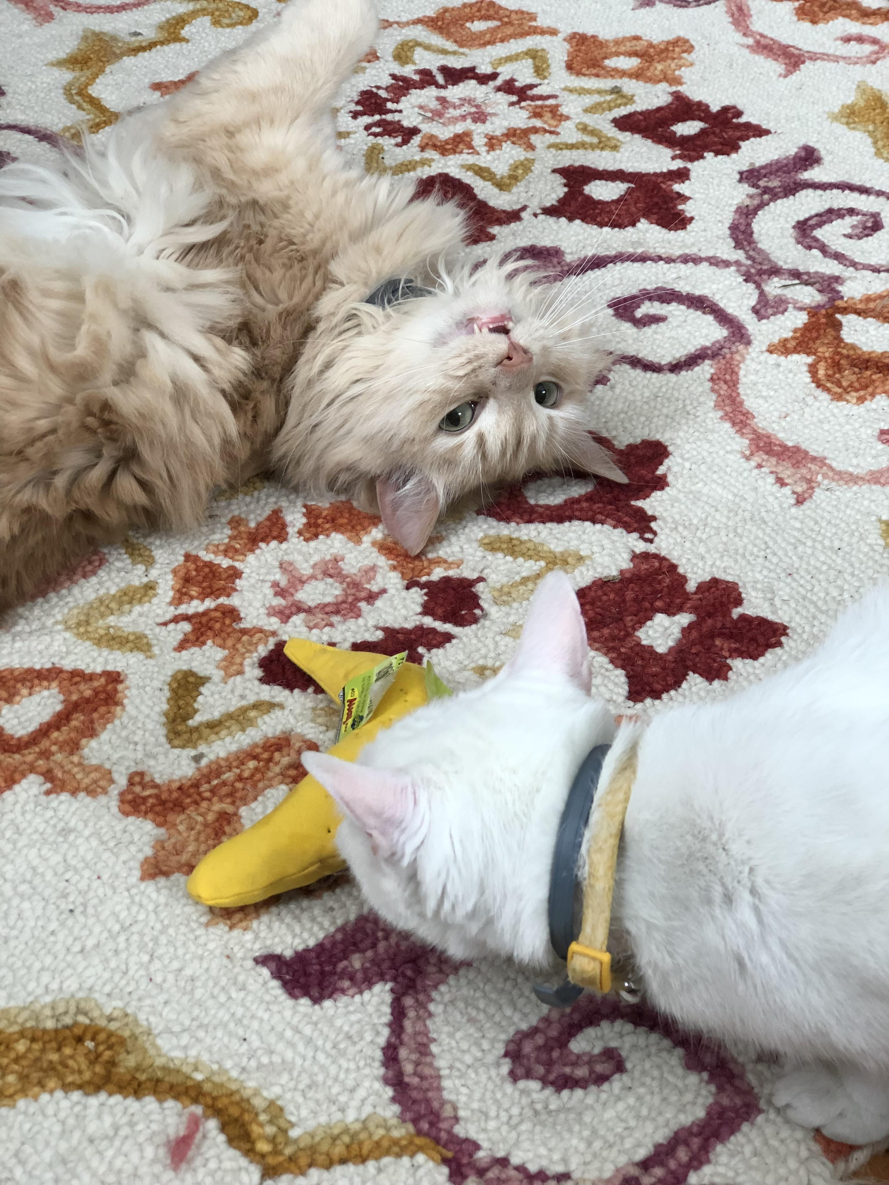 Two cats playing with catnip toy