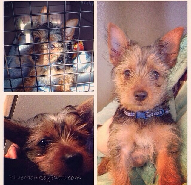 Molly the yorkie at 9 weeks from Lollypop Farm, going to the dogs