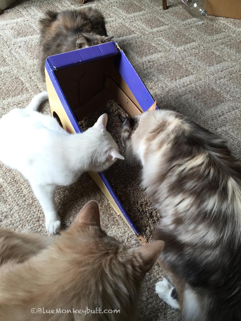 cats love silvervine