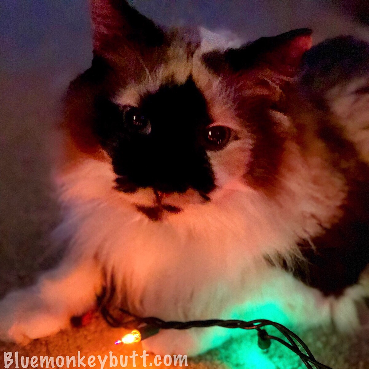 Jezebel the cat with Christmas lights