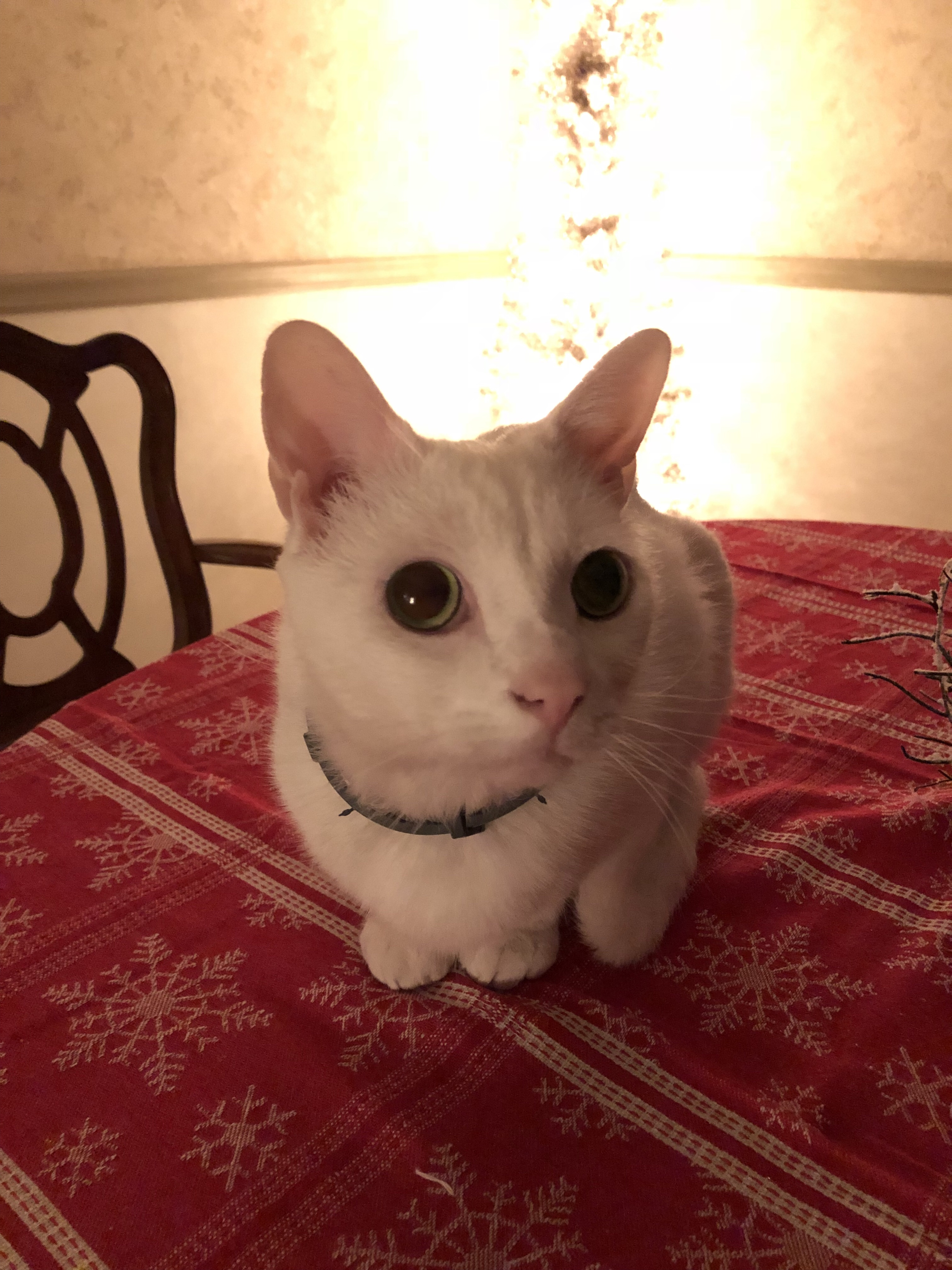 Rosie the cat sitting on a dining room table