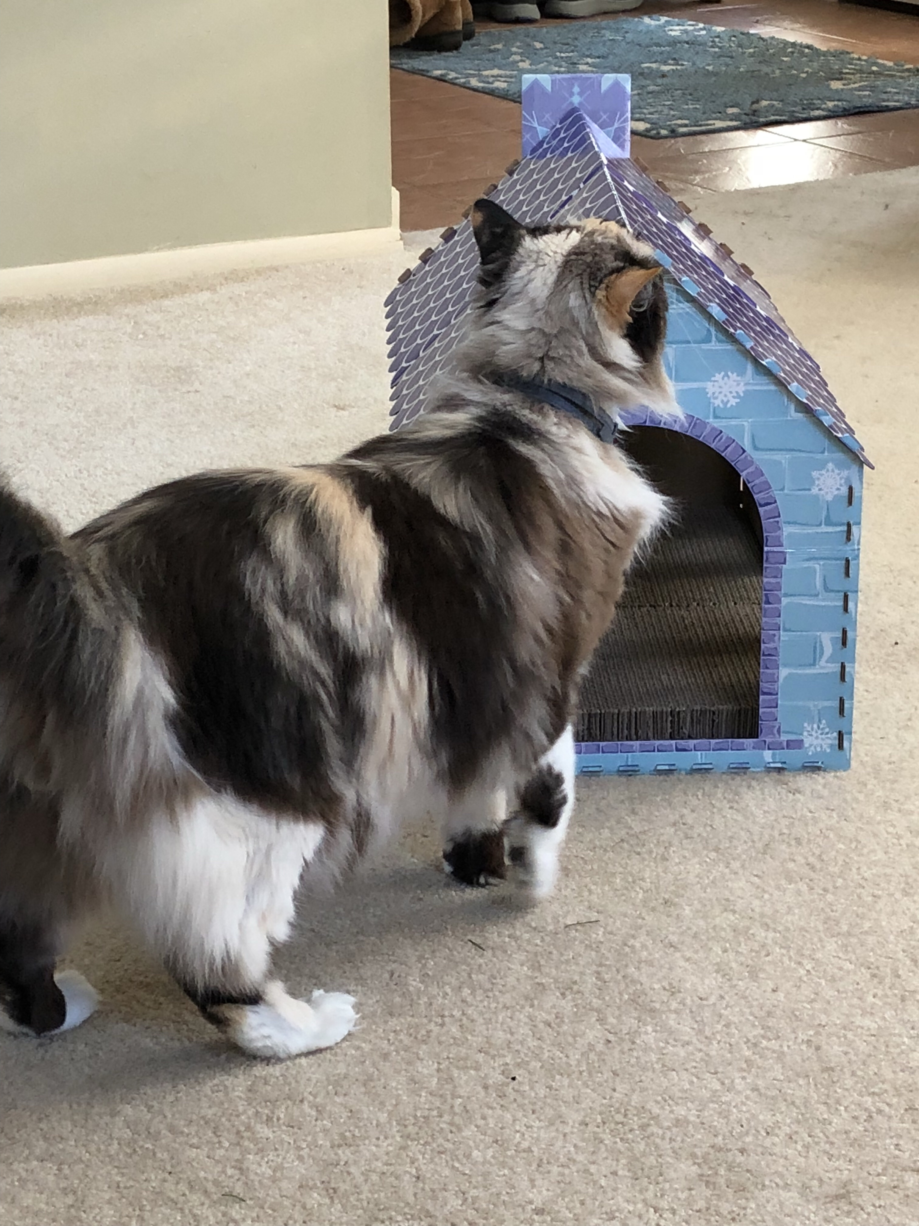 Jezebel checking out the cardboard house meow Tuesday
