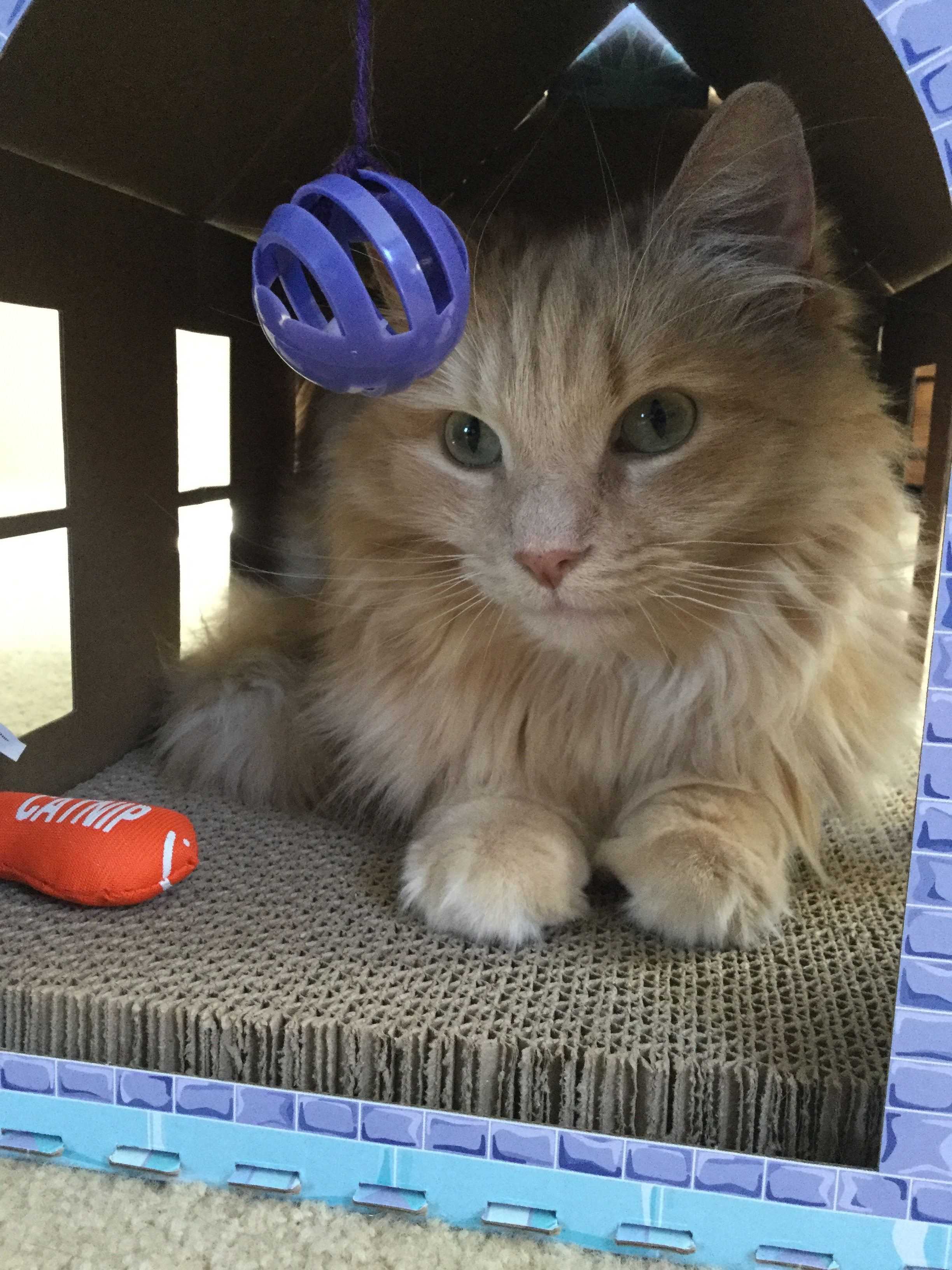 George the cat inside his cardboard house meow Tuesday