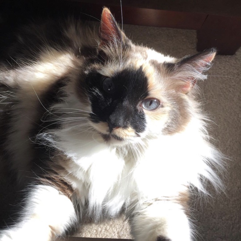 Jezebel, a rag doll breed of cat sitting in the sun