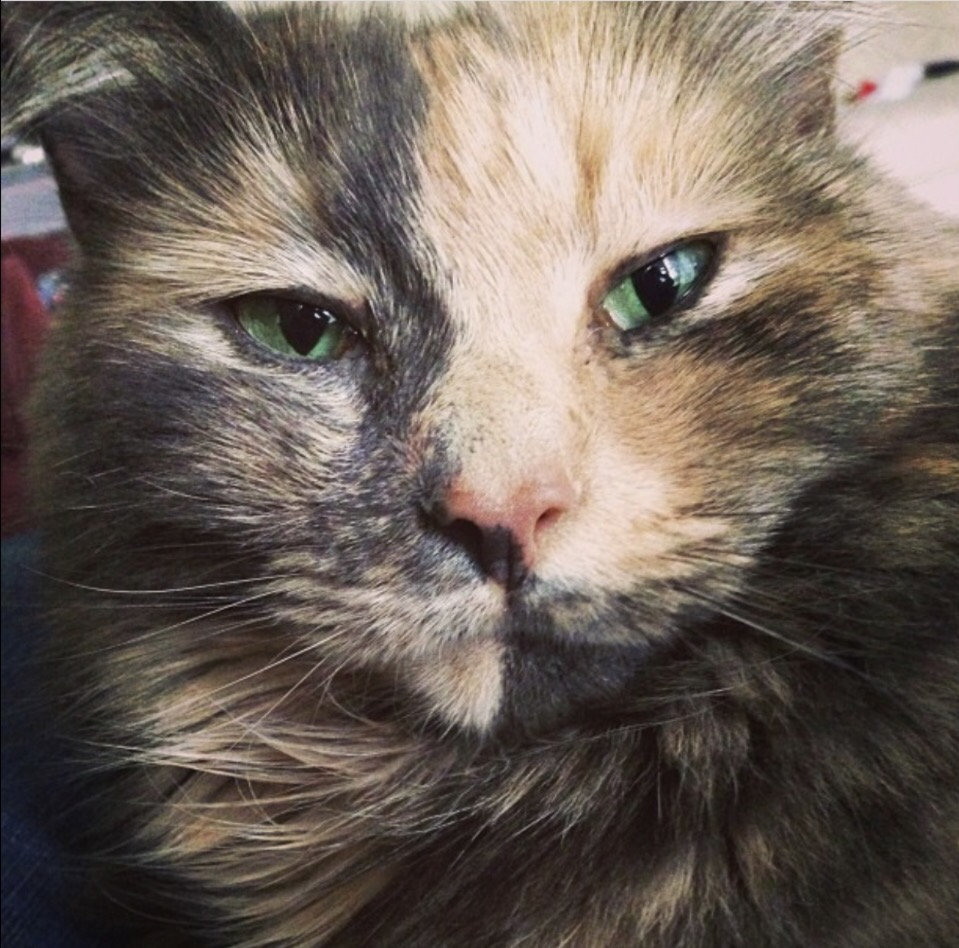 Kimmy, a dilute calico cat with bright green eyes