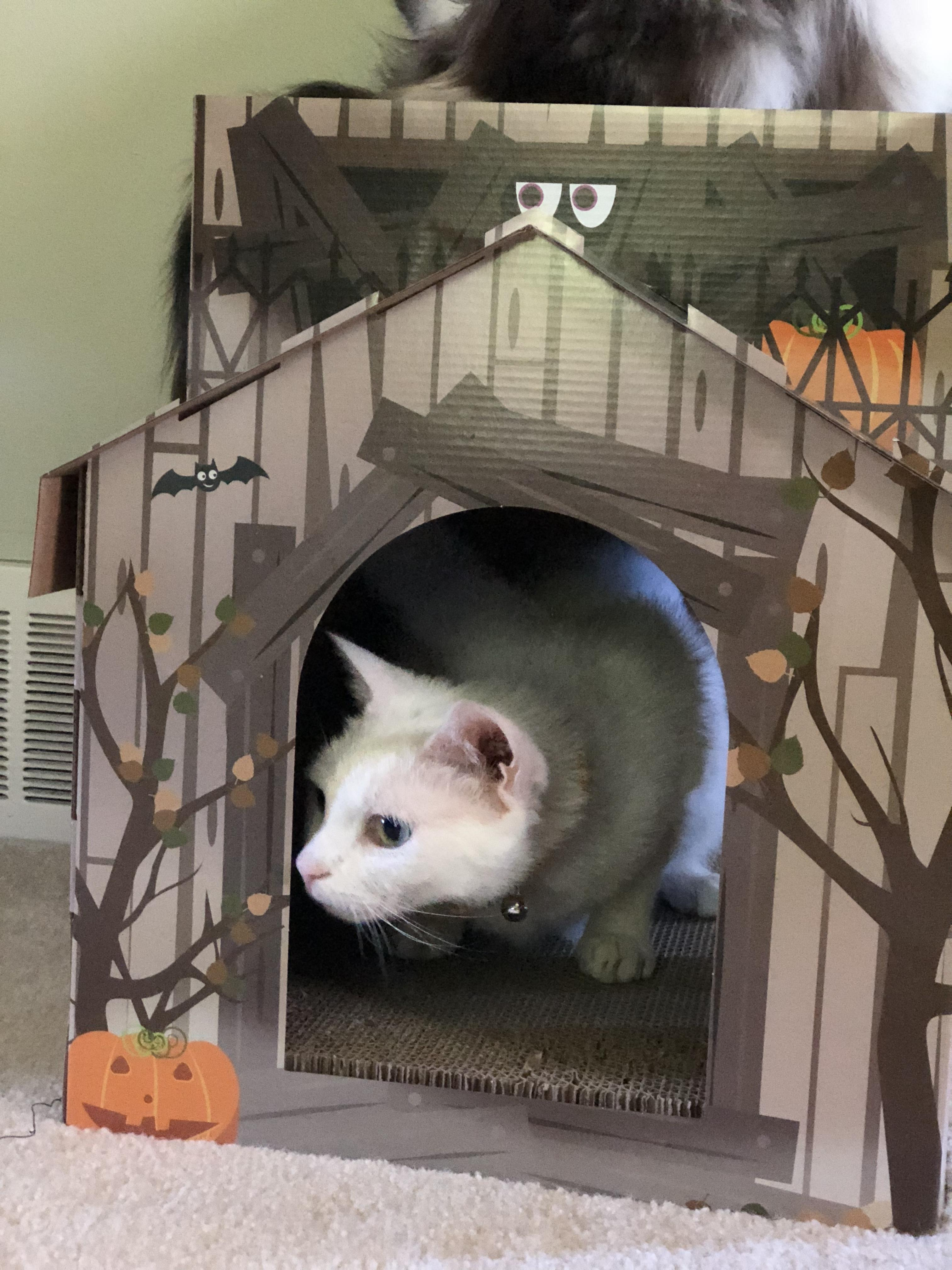 White cat in cardboard house