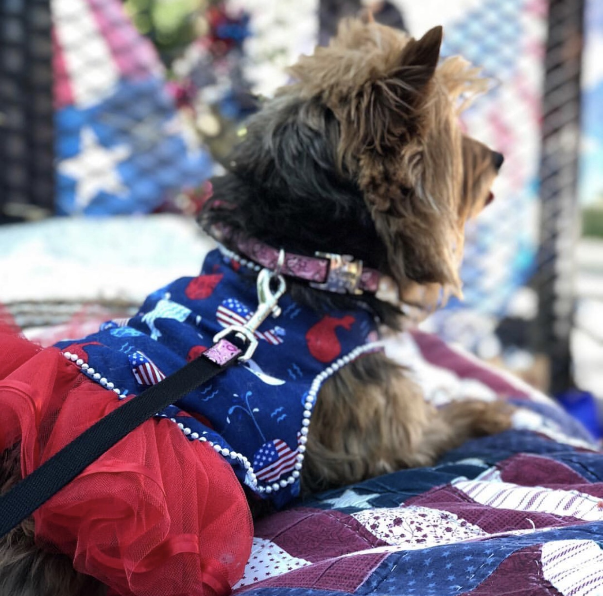 Yorkshire terrier wearing a patriotic dress