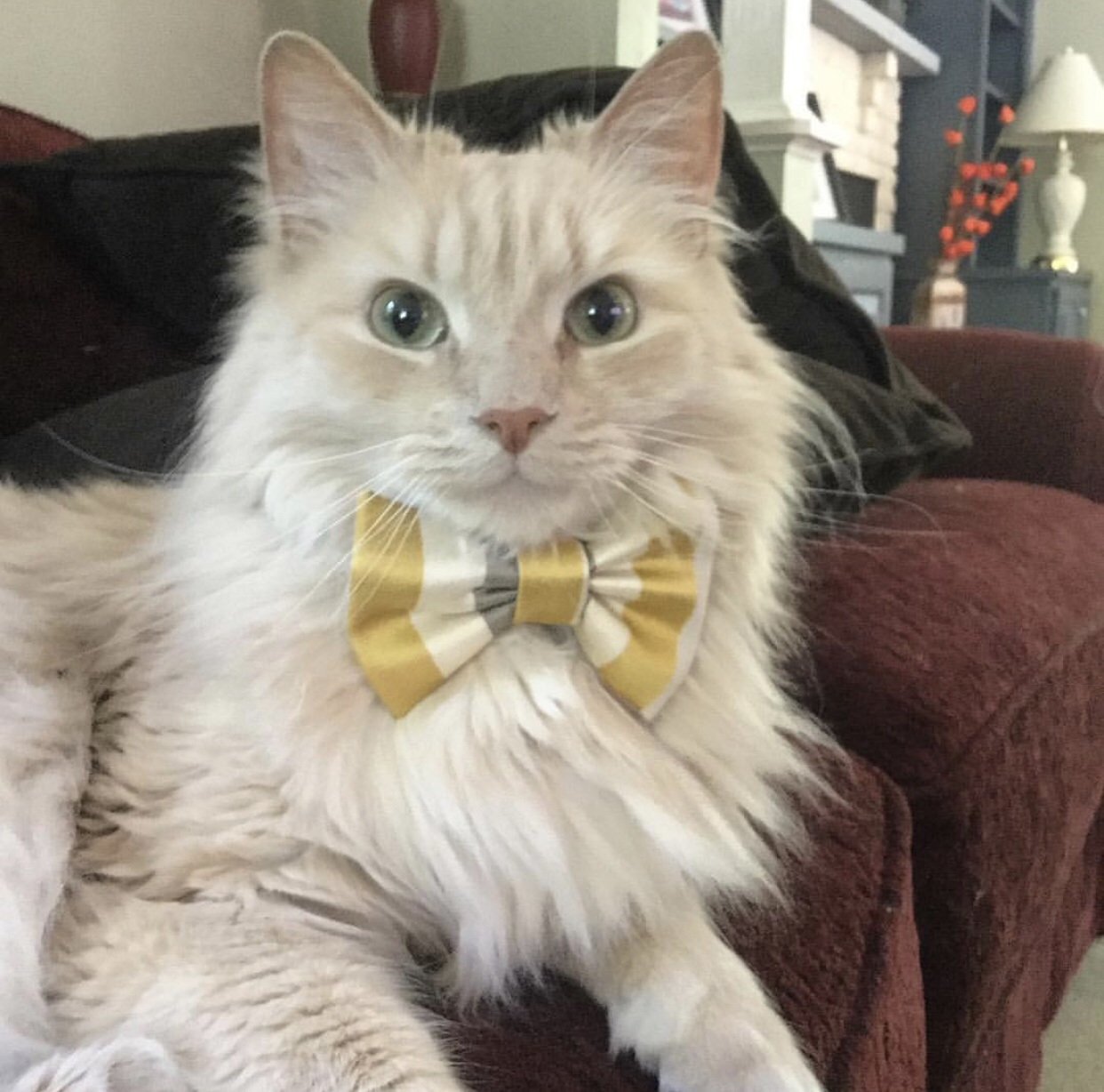 Orange tabby cat wearing a bow tie