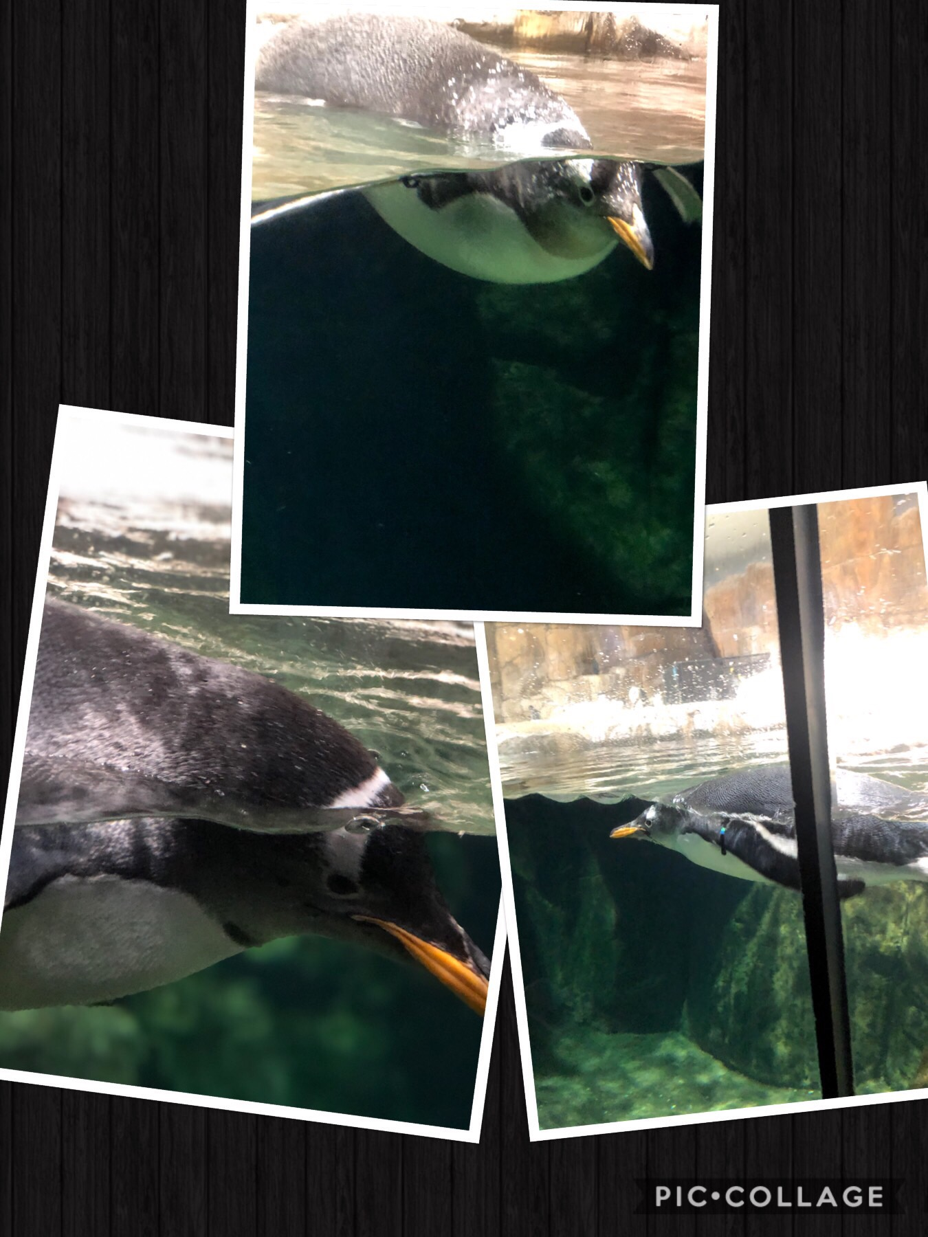 Collage of 3 photos of penguins swimming