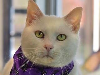 White cat wearing a purple Halloween scarf