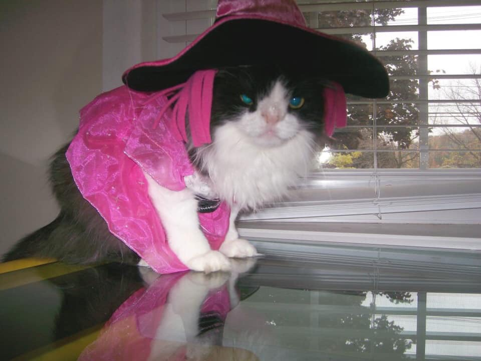 National Dress Up Your Pet Day black and white cat wearing a pink witch costume